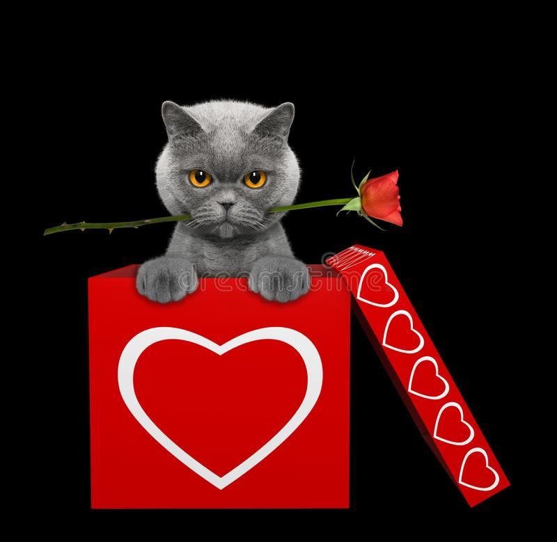 Кот с поднял сидящ в коробке валентинок Изолировано на черноте стоковая фотография