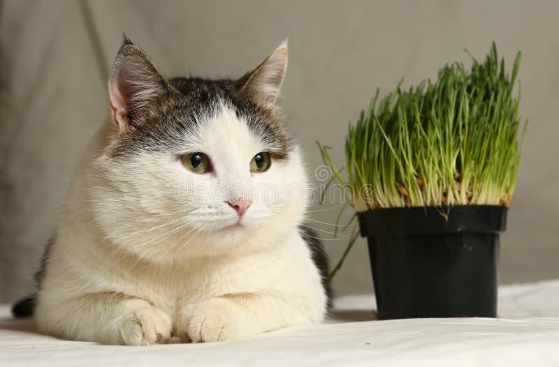Кот Тома мужской смешной есть траву от бака стоковое фото