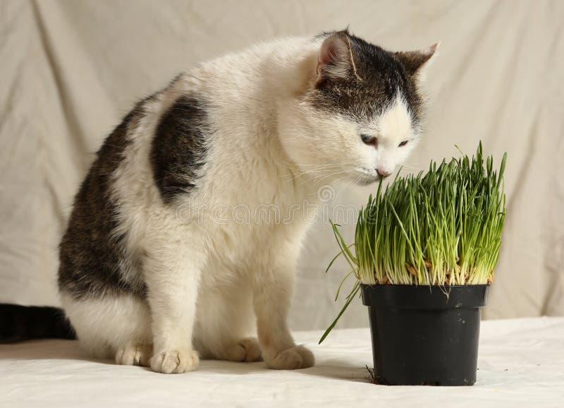 Кот Тома мужской смешной есть траву от бака стоковая фотография