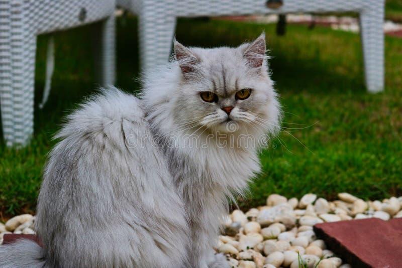 Кот шиншиллы персидский в саде стоковые фото