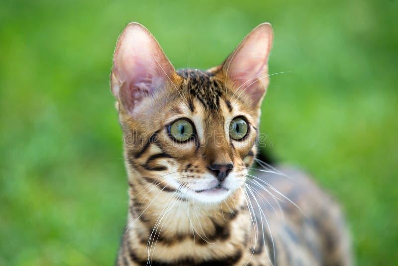 Download Кот стоковое изображение. изображение насчитывающей вискеры - 33729749