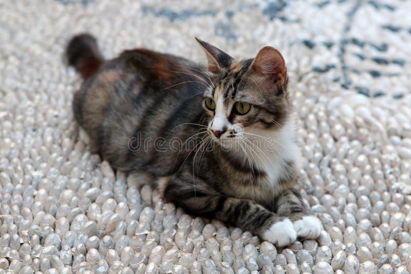 Кот angoras Знание природы Через глаза природы стоковое фото