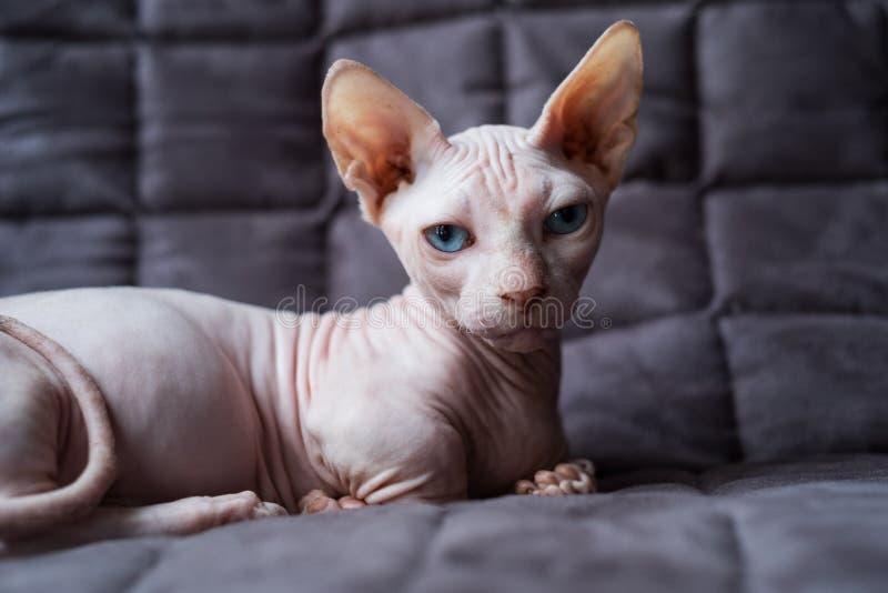 Кот Bambino стоковое изображение rf