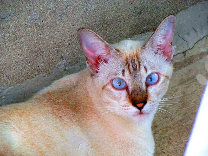Кот BlueEye стоковые изображения