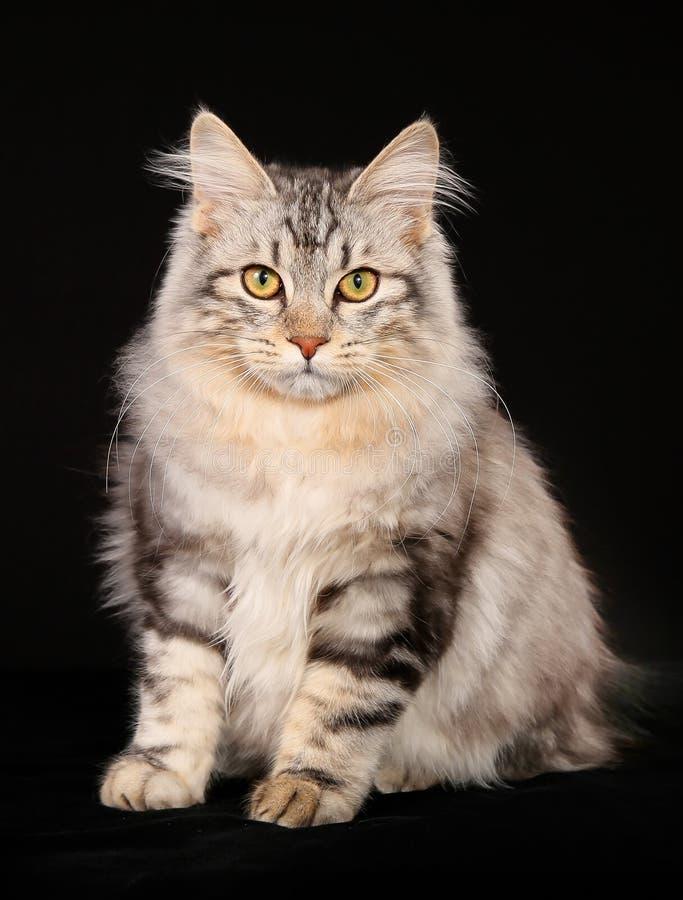 Кот bobtail Kurilian стоковые фотографии rf