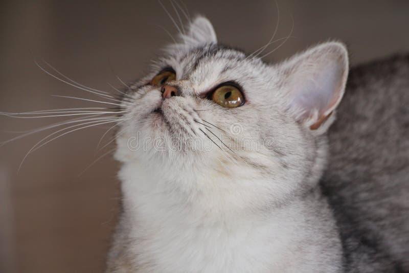 Кот Burmilla стоковое изображение rf