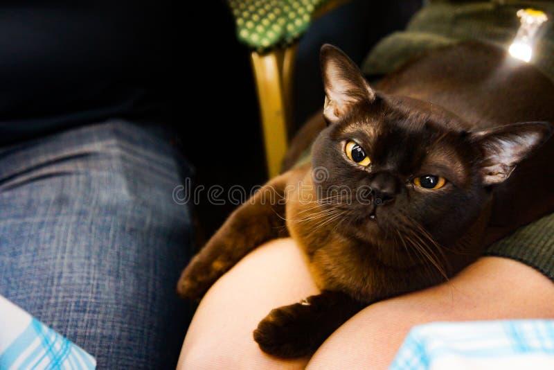 Кот catus кошки бирманский стоковая фотография