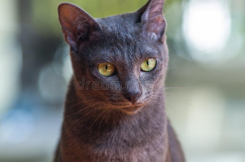 Кот Korat стоковые изображения rf