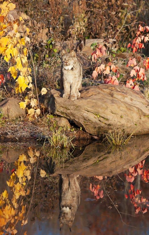Кот Lynx Стоковое Изображение