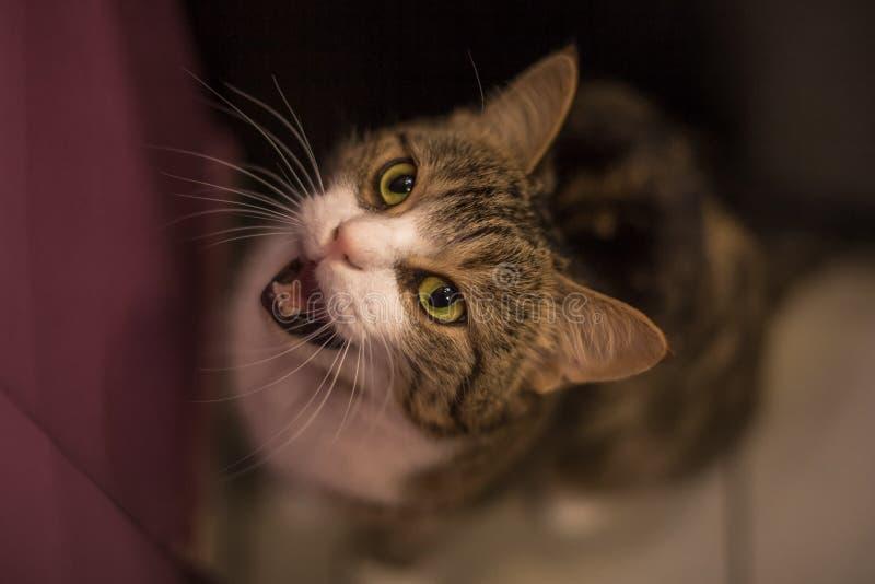 Кот meowing рядом с дверью стоковое изображение rf