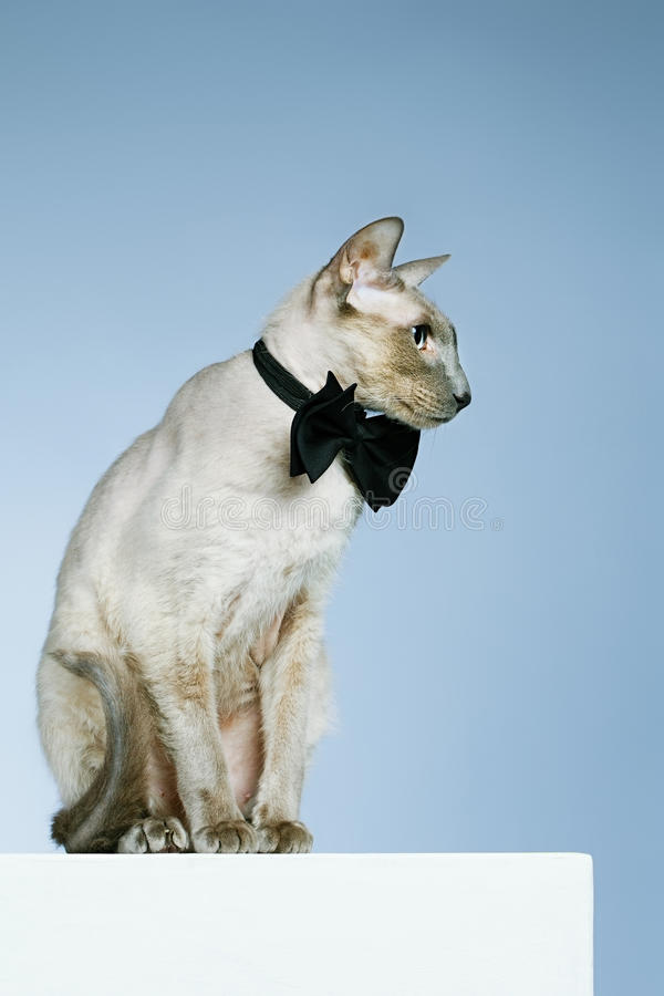 Кот Peterbald стоковое фото