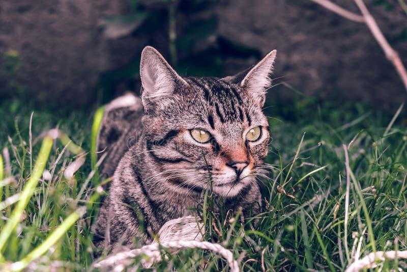 Кот Shorthair бразильянина держа его любимую игрушку шнура на траве стоковое фото