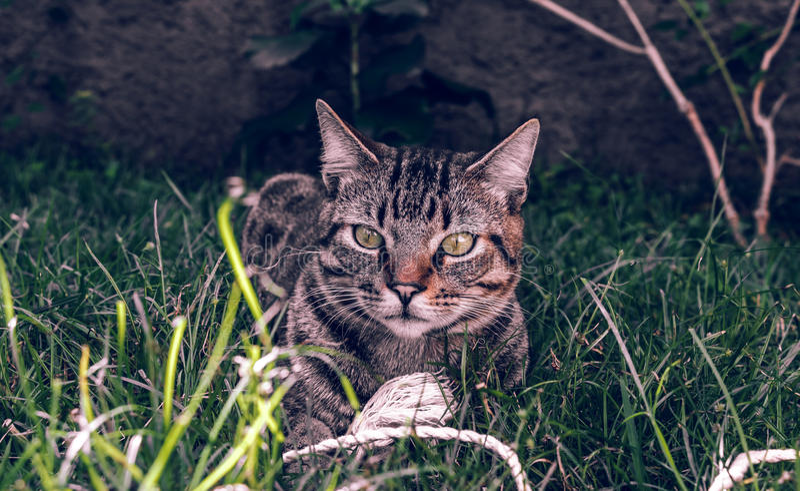 Кот Shorthair бразильянина держа его любимую игрушку шнура на траве стоковые фотографии rf