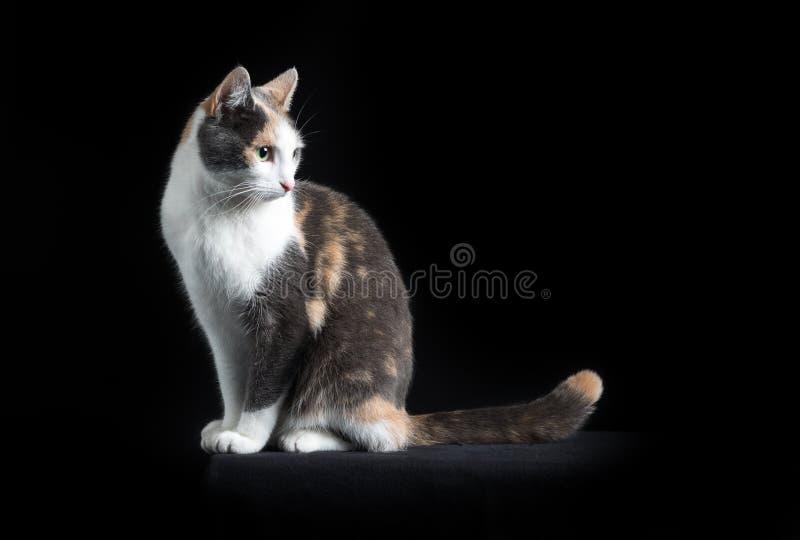 Кот Shorthair европейца сидя в черной предпосылке стоковая фотография