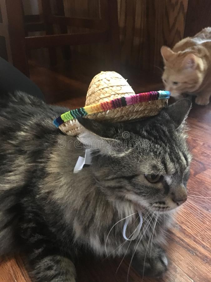Кот Sombrero стоковая фотография rf