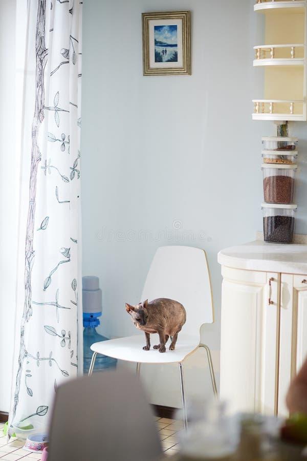 Кот Sphynx в интерьере кухни стоковая фотография rf