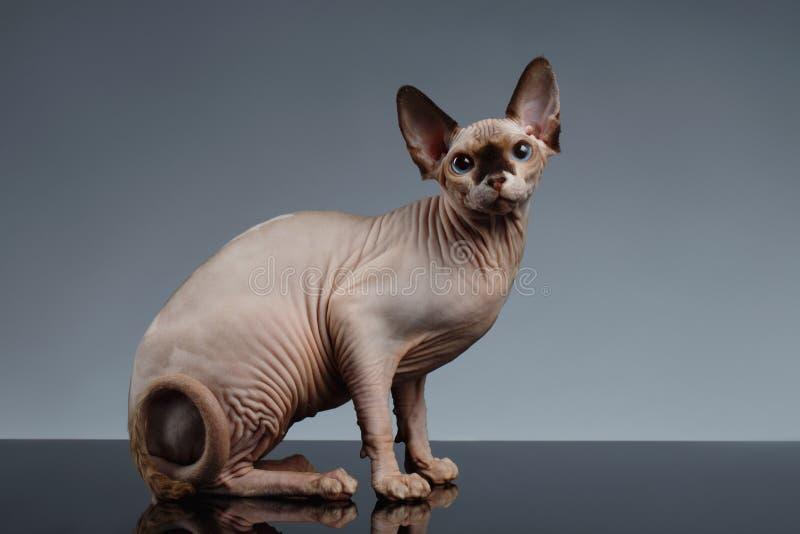 Кот Sphynx сидит в вид спереди на черноте стоковые изображения rf
