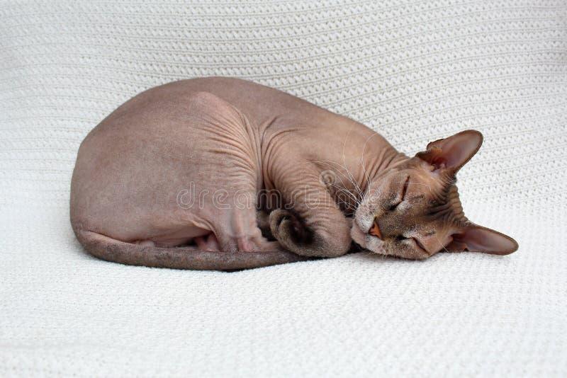 Кот Sphynx спит Безволосое животное упало уснувший на связанном белом покрывале стоковое изображение rf