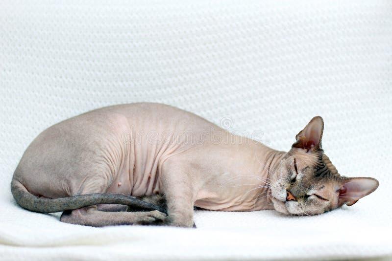 Кот Sphynx спит Безволосое животное упало уснувший на связанном белом покрывале стоковые изображения rf