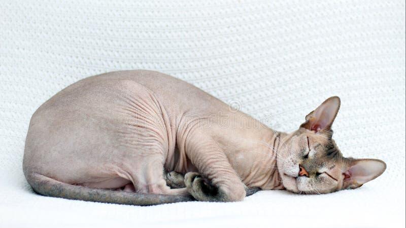 Кот Sphynx спит Безволосое животное упало уснувший на связанном белом покрывале стоковые фотографии rf