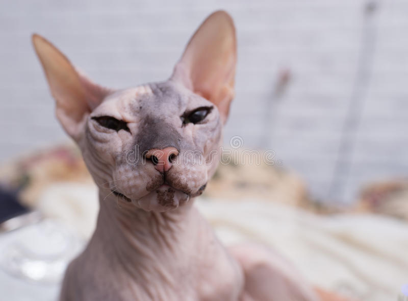 Кот Sphynx стоковые фотографии rf