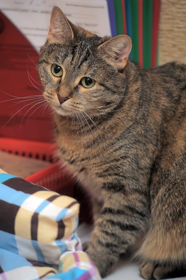 Кот tabby Брауна красивый стоковое изображение rf