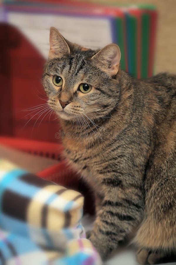 Кот tabby Брауна красивый стоковая фотография rf