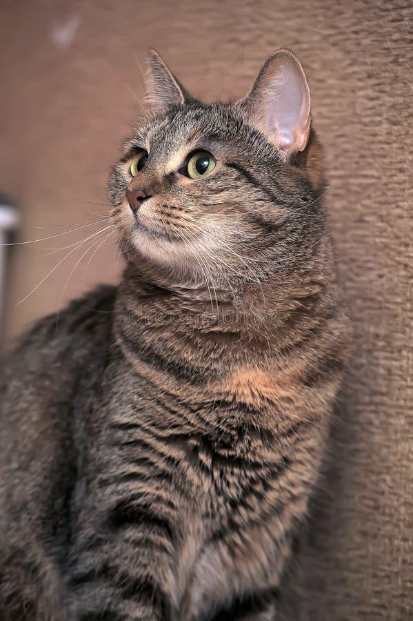 Кот tabby Брауна красивый стоковое фото