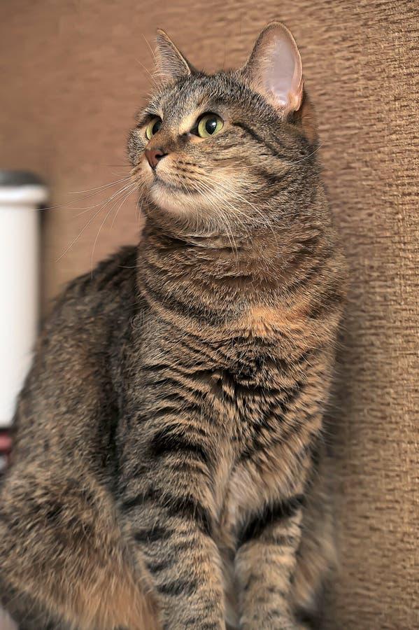 Кот tabby Брауна красивый стоковая фотография