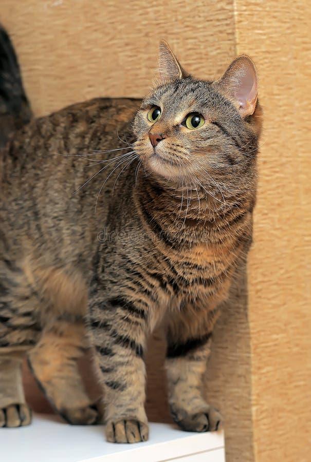 Кот tabby Брауна красивый стоковые фото