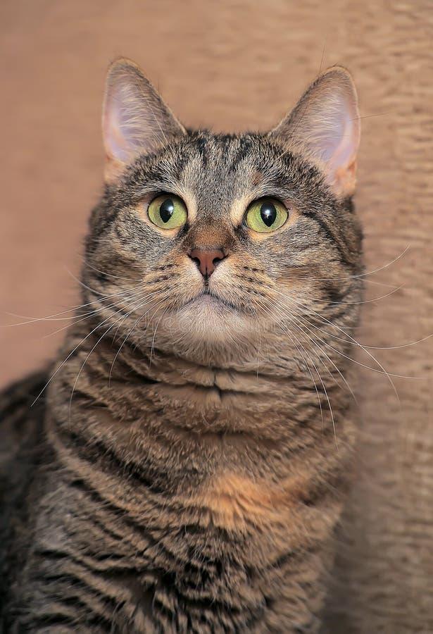Кот tabby Брауна красивый стоковые фотографии rf