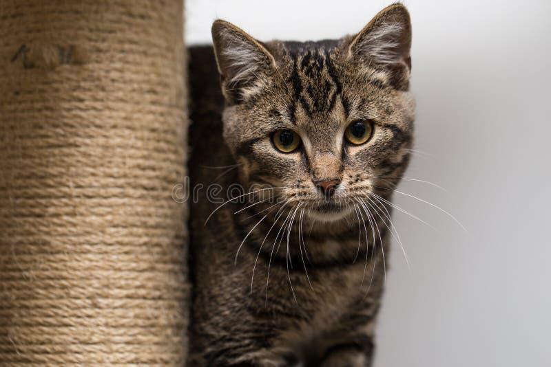 Кот Tabby смотря камеру стоковая фотография rf