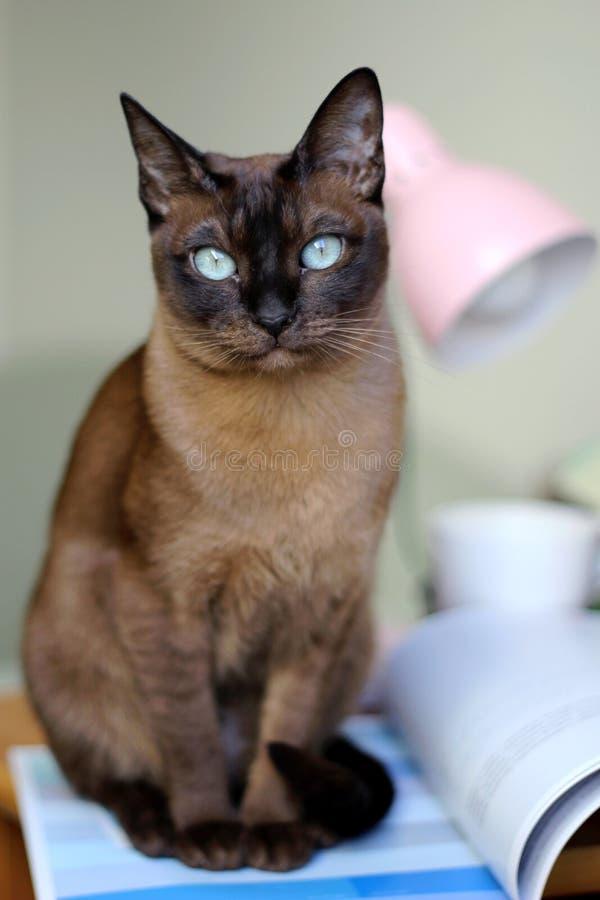 кот tonkinese стоковая фотография