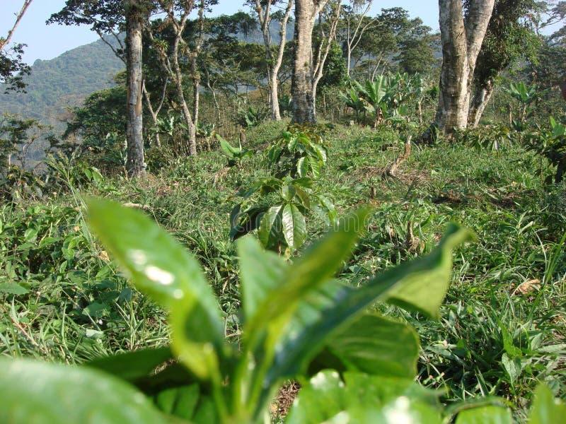 Кофейная плантация стоковая фотография