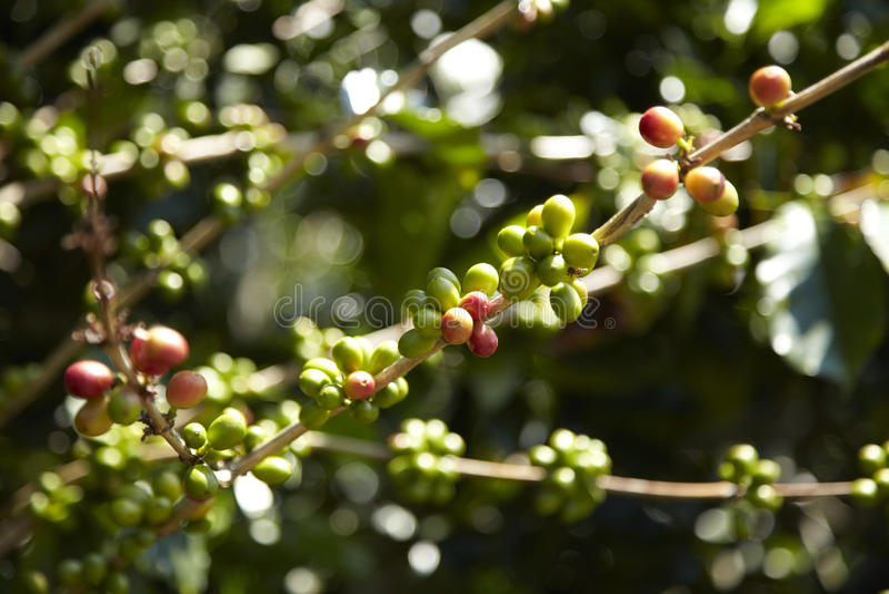 Кофейная плантация, Boquete, Panama6 стоковое изображение rf