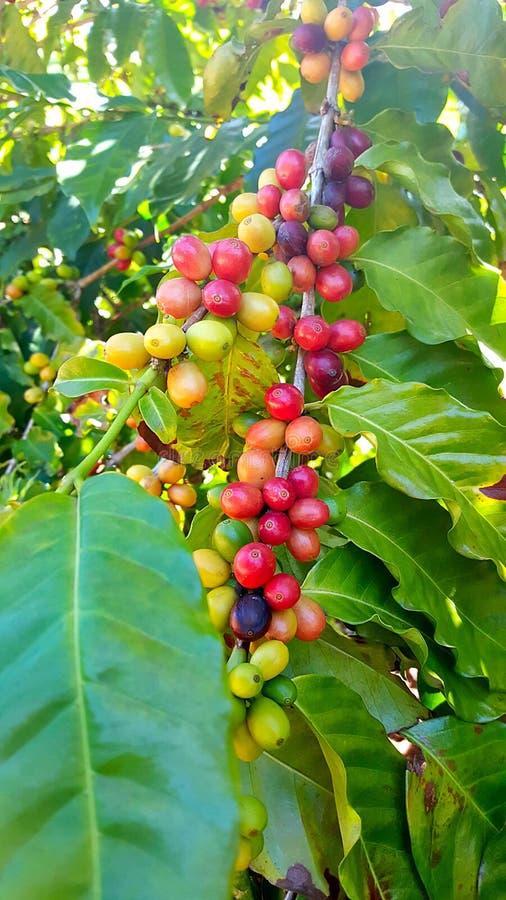 Кофейные зерна зрея на дереве стоковые фото