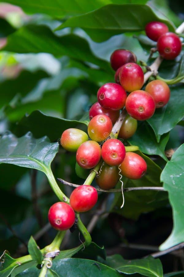Кофейные зерна зрея на дереве в севере Таиланда стоковая фотография
