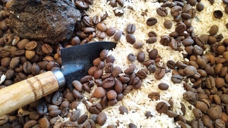 Кофейные зерна на белом рисе стоковые изображения