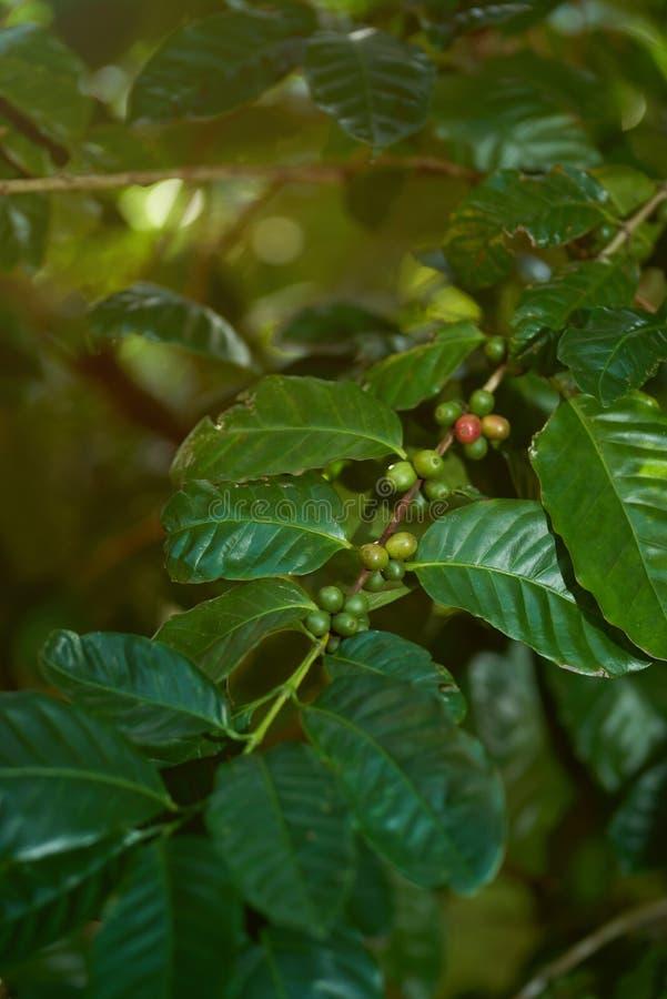 Кофейные зерна получая готовый стоковое изображение