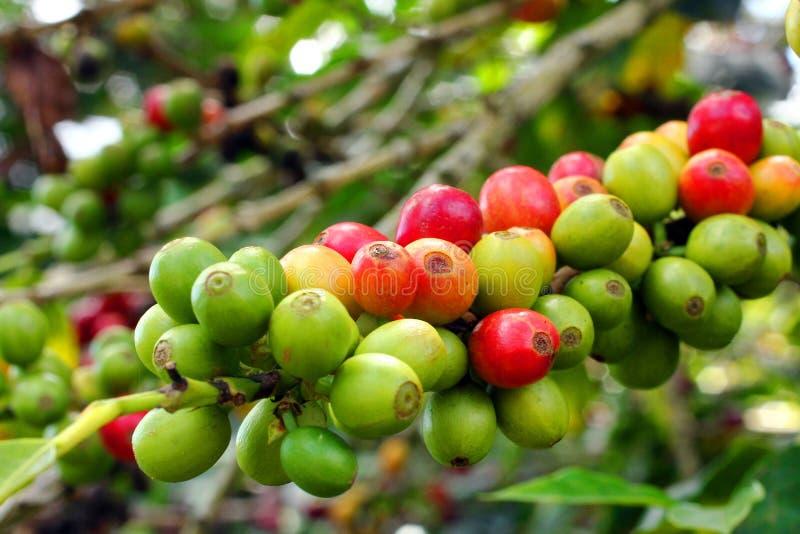 Кофейные зерна, Boquete, Chiriqui, Панама стоковое изображение