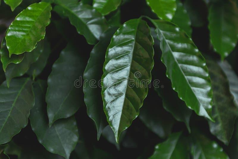 Кофе листьев зеленого цвета крупного плана стоковое изображение