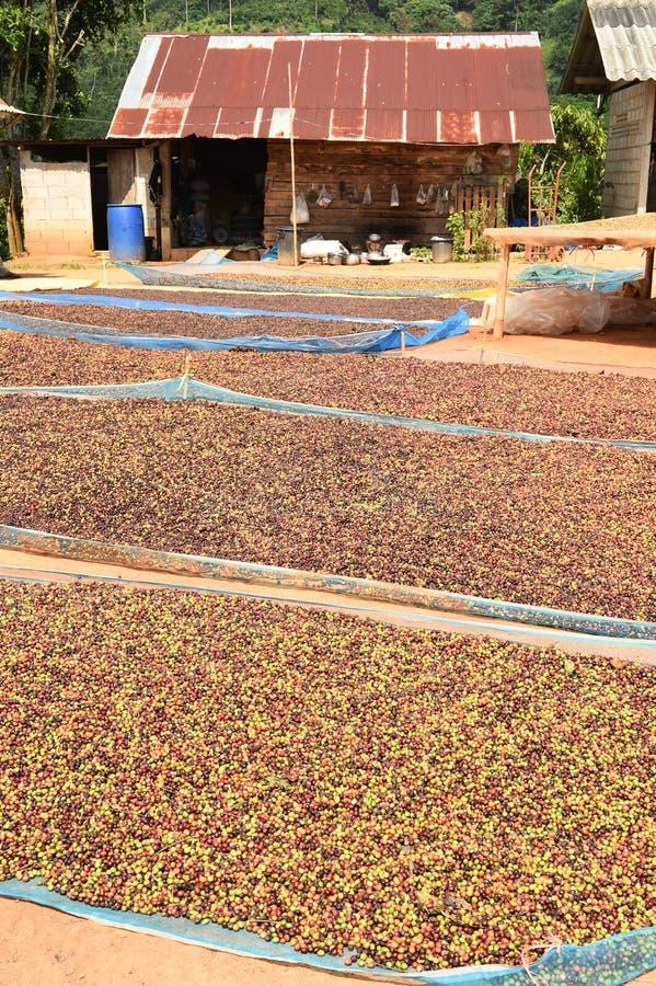 Кофе ягод засыхания красный в солнце стоковые фотографии rf