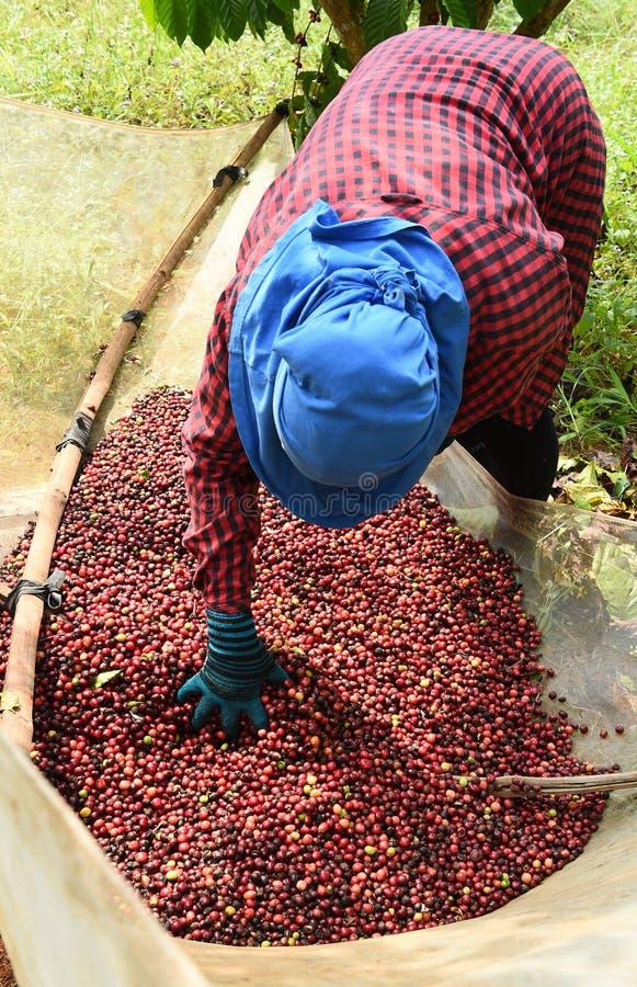 Кофе ягод засыхания красный в солнце стоковое изображение rf