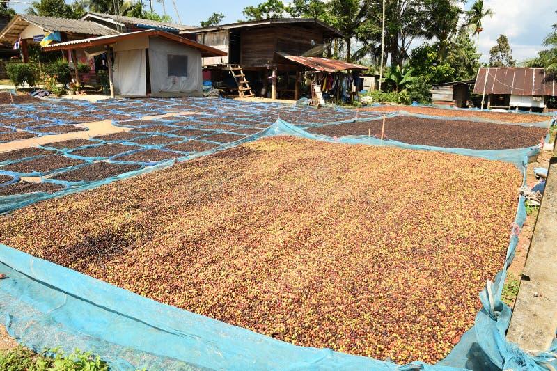 Кофе ягод засыхания красный в солнце стоковая фотография rf