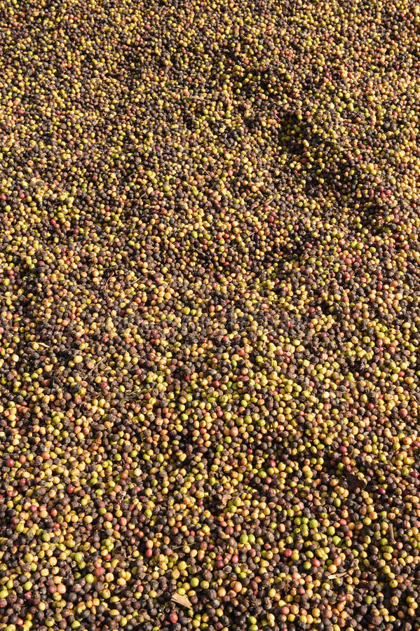 Кофе ягод засыхания красный в солнце стоковые изображения rf
