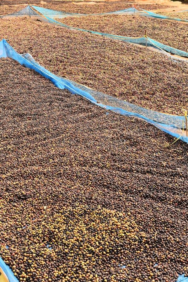 Кофе ягод засыхания красный в солнце стоковое изображение