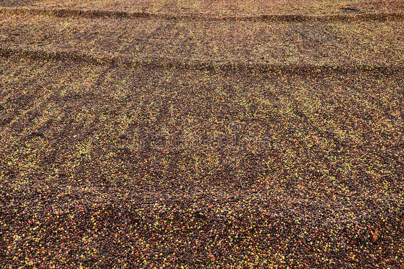 Кофе ягод засыхания красный в солнце стоковое фото rf