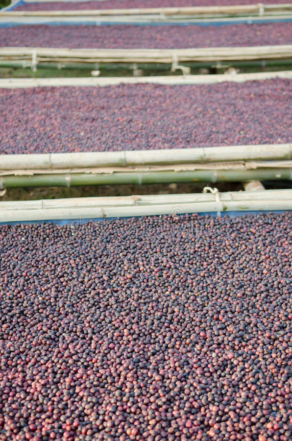 Кофе ягод засыхания красный стоковая фотография rf