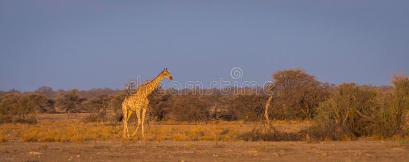 Кочуя жираф на африканской саванне стоковые изображения