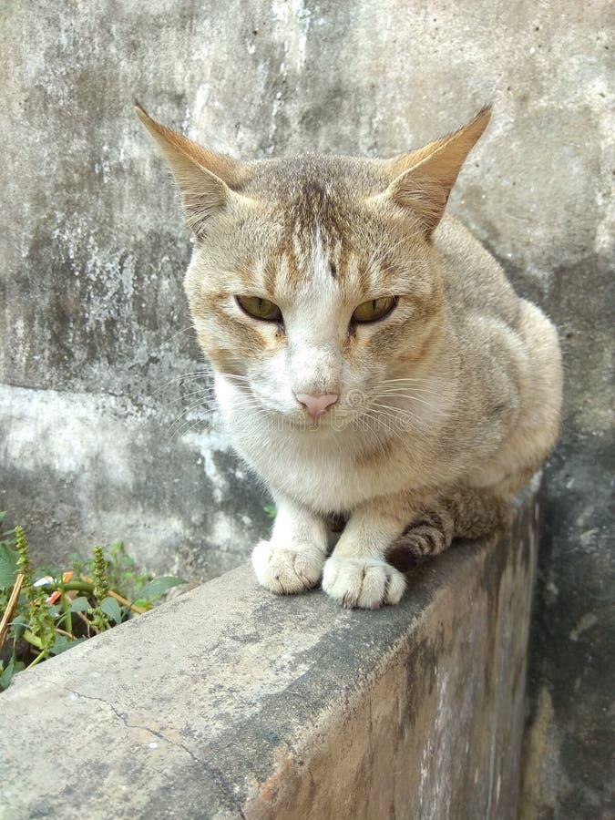Кошка Domesticus стоковая фотография
